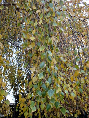 Birch Leaves in early autumn